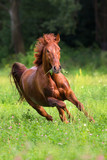 Red stallion run gallop on spring green field against forest - 175905093