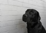 Labrador against a white wall