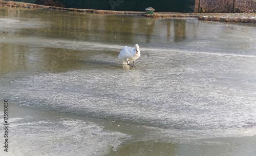 Fotobehang Zwaan Cygne marchant sur la glace