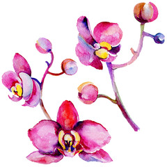 Wildflower orchid flower in a watercolor style isolated. Full name of the plant: tropical orchid. Aquarelle wild flower for background, texture, wrapper pattern, frame or border.
