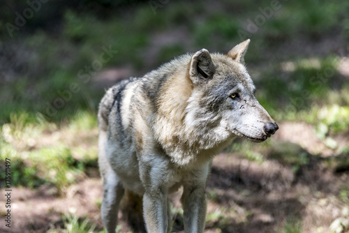 Fotobehang Wolf Wolf (Canis lupus)