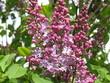 Kwitnący fioletowy bez