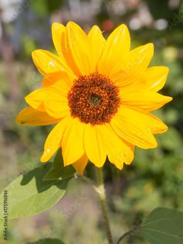 Poster flower of sunflower