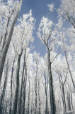 forest trees frozen in winter