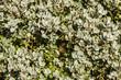 Ramas con hojas de encina, carrasca. Quercus ilex.