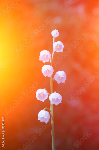 Fotobehang Lelietjes van dalen May lily in beautiful colors.