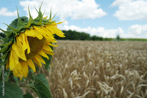 Sunflower against the background of wheat field and sky with clouds