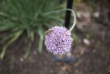 Allium - 175926687