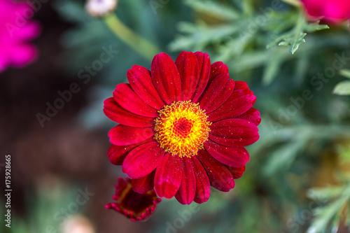 petali della gerbera, fiore rosso, fiore rosa