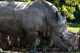 Rinoceronte bianco - 175929495