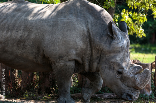 Aluminium Neushoorn Rinoceronte bianco
