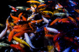 Motion blur beautiful background carp swimming in pond. Abstract colorful background. - 175932895
