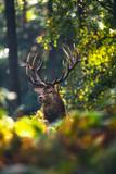 Red deer stag (cervus elaphus) in autumn foliage of forest. - 175948000