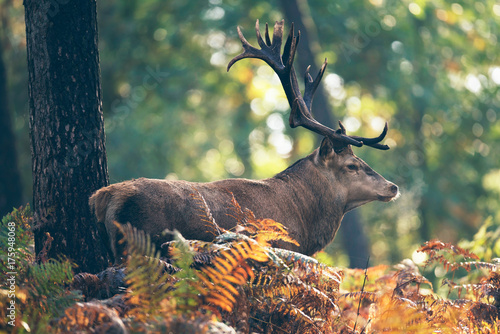 Red deer stag in ferns in autumn forest.