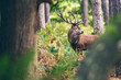 Quadro Red deer stag between ferns in autumn forest.