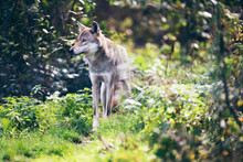 Timber wolf (Canis lupus) on grass in bushes.