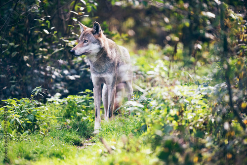 Fotobehang Wolf Timber wolf (Canis lupus) on grass in bushes.