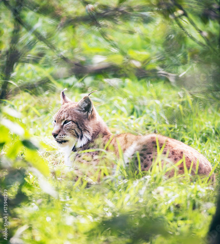 Foto op Canvas Gras Eurasian lynx (lynx lynx) lying in grass backlit by sunlight.