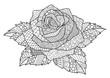 Rose - 175957431