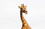 giraffe in africa - 175958633
