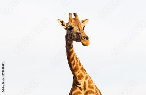 giraffe in africa Poster