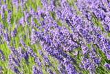 Lavendelblüte in Spanien - 175959060