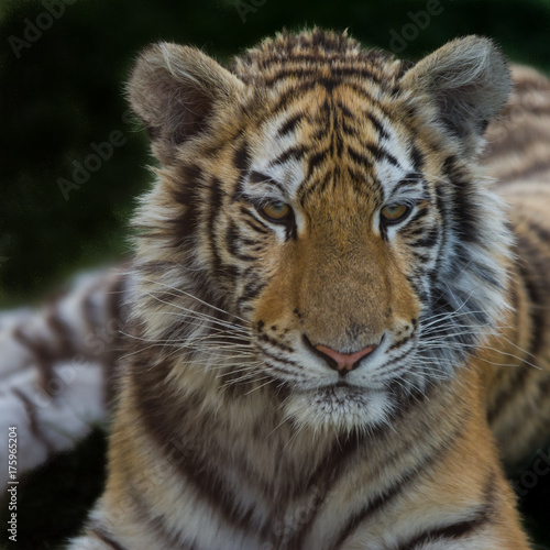 Fotobehang Tijger Close up photo portrait siberian tiger pursuing