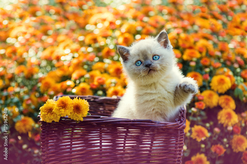 Cute little kitten in orange daisy flowers