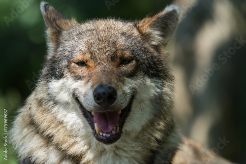 Fotobehang Wolf Close up photo portrait eurasian wolf in spring sunny day