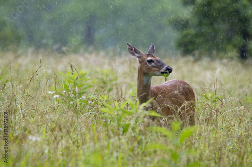 Aluminium Hert Whitetail doe deer grazing