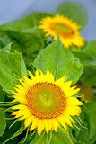 Yellow sunflowers .Holiday card. - 175974261
