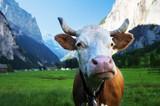 Cow on Alps. Jungfrau region, Switzerland - 175978652