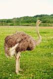 ostrich on grass, summer time - 175984448