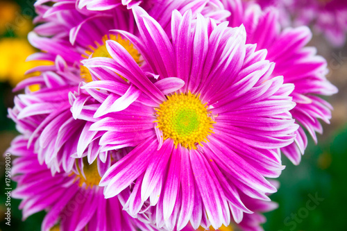 Beautiful lilac pink chrysanthemum as background picture. Chrysanthemum wallpaper, chrysanthemums in autumn. - 175989030