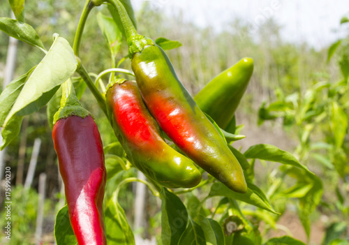 Aluminium Hot chili peppers peperoncini