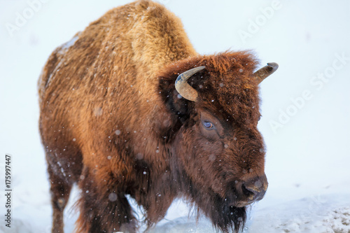 Fotobehang Bison A buffalo squares off in Yellowstone National Park, Wyoming