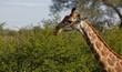 Quadro Giraffe Profile