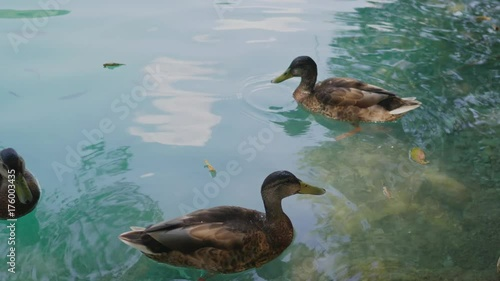 Ducks in waters of Plitvice Lakes National Park