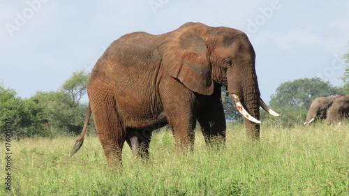 Male elephant