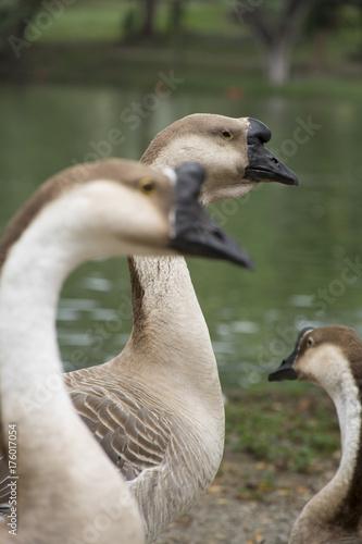 Fotobehang Zwaan beautiful swans