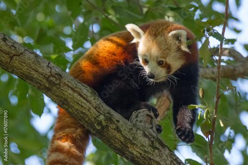 Panda rosso Poster