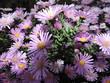 Цветы сиреневые