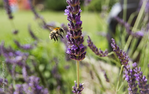 Aluminium Bee A bee pollinating lavender flower