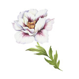 Image of Peony flower. Hand draw watercolor illustration. - 176025811