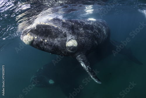 Southern right whale mother and calf underwater view, Nuevo Gulf, Valdes Peninsula, Argentina.