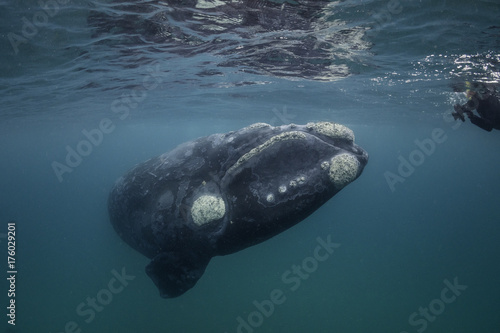 Southern right whale and diver underwater view, Nuevo Gulf, Valdes Peninsula, Argentina Poster