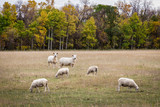 horizontal image of sheep grazing in the pasture in the fall time. - 176030423