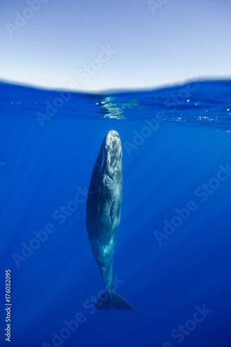 Sperm whale resting near the surface, Indian Ocean, Mauritius.