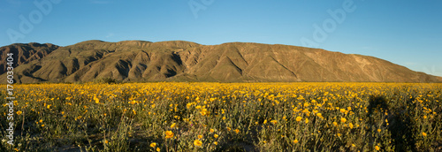 Poster Honing Anza Borrego montains and flowers