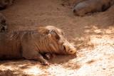 Common warthog Phacochoerus africanus - 176034874